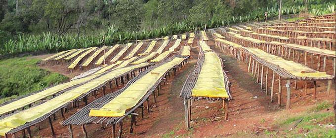 エチオピア グジのイメージ写真2