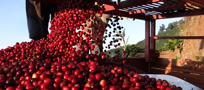 コスタリカ ロスアンへレス・ヒラソーレス農園 イエローハニー イメージ写真