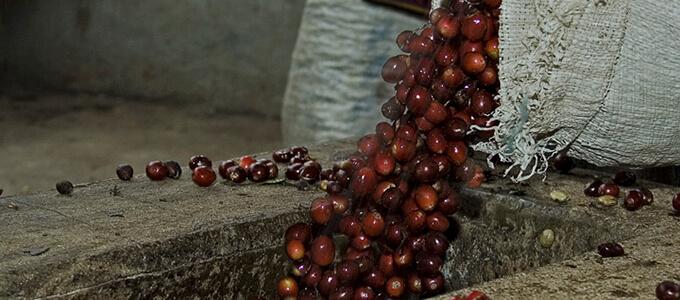 グアテマラ エル・インフェルト ウノ農園 パカマラのイメージ写真1