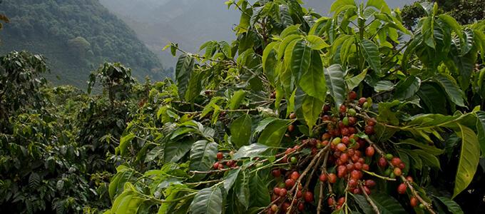 グアテマラ エル・インフェルト ウノ農園 パカマラのイメージ写真2