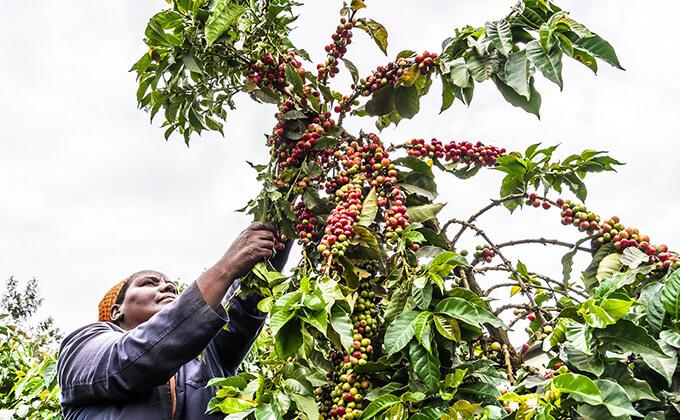 ケニア イロワキ ファクトリーのイメージ写真1
