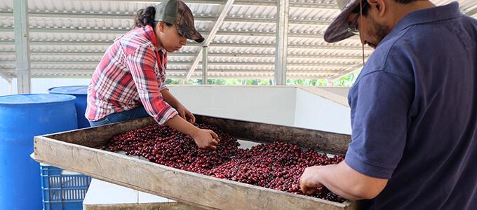 エルサルバドル サンタ・ローザ農園 カップ・オブ・エクセレンス 2018のイメージ写真2