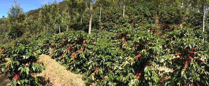 グアテマラ リオ ドラド農園 カップ・オブ・エクセレンス 2017のイメージ写真1